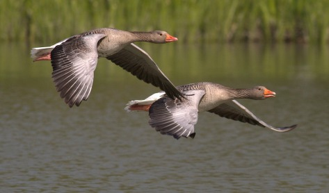 canada-geese-348290_960_720