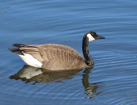 canada-goose-2095333__340